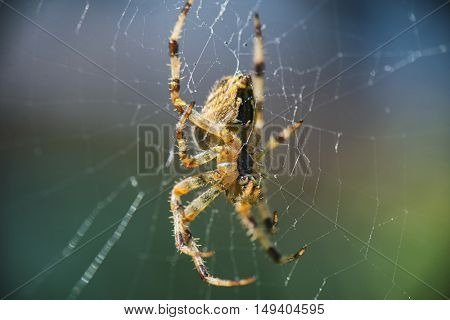 Macro shot of Cross Orbweaver spider (Araneus diadematus) aka European Garden Spider, Cross Spider, Diadem Spider