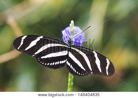 Zebra longwing butterfly (Heliconius charitonia) perching on a flower