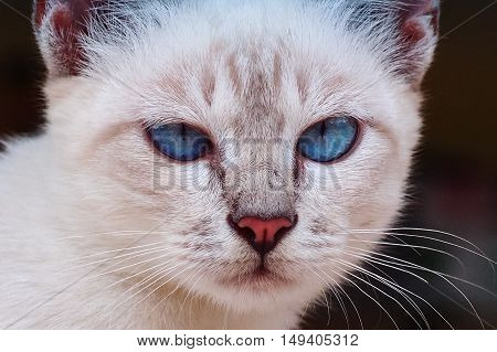 The white cat, with blue staring eyes.