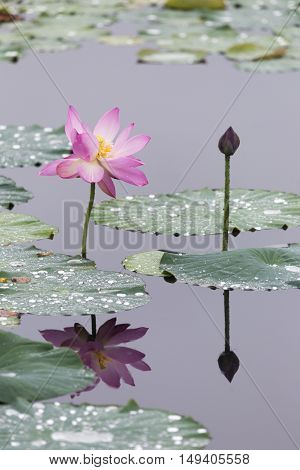 Beautiful lotus flowers with green leaves  on the lake