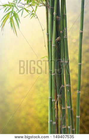 Fresh tree bamboo green on Blurred background