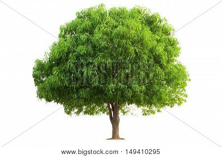 Mango Tree isolated on white background. Tree object for design