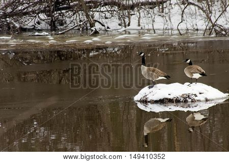 two canadian geese on a small island in winter.