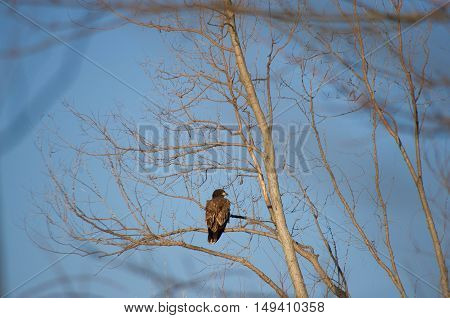 bald eagle perched high on a branch.