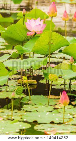 Beautiful Pink Lotus Flower In Pond.