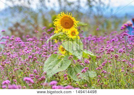 Sunflower in flowers verbena bonariensis garden at Monjam Chiang Mai Thailand