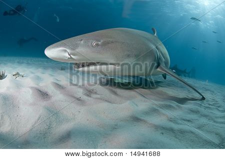 Lemon shark, Bahamas