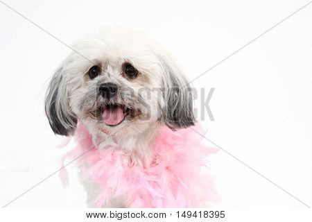 white Havanese dog with pink boa on white background