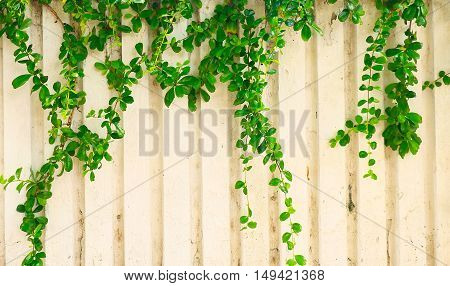 Ivy Leaves On A White Background