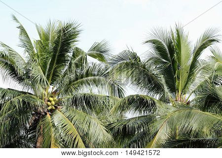 Coconut Palm Trees Agains