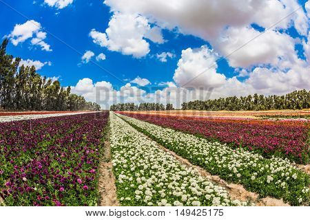 Israeli kibbutz in the south. Garden buttercups bloom in bright colors. Walk on a sunny day. The concept of eco-tourism