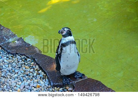 Penguin- flightless seabird of the southern hemisphere with black upper parts and white underparts