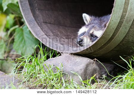 Racoon In A Barrel, Resting