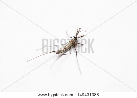 Short focus of Dead mosquito lie-down on white background.