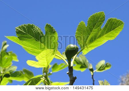 Early green fig fruit tree against a blue sky