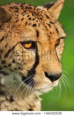 Head of cheetah. Beast wild animal. Nature