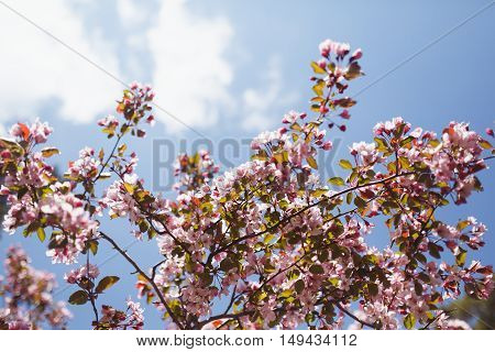 the blossoming cherry in blue sky flowers