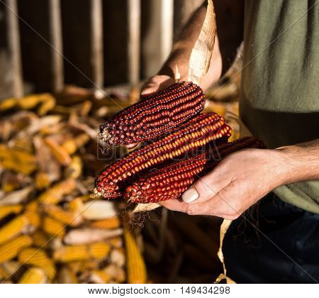 Farmer Holding Corn Cobs