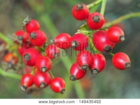 bunch of red hips on a natural background