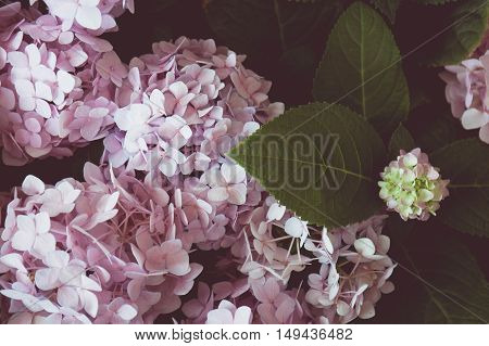 A Vintage tone of Pink hydrangea flowers