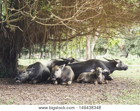 Buffalos family sit under the tree outdoor wildlife