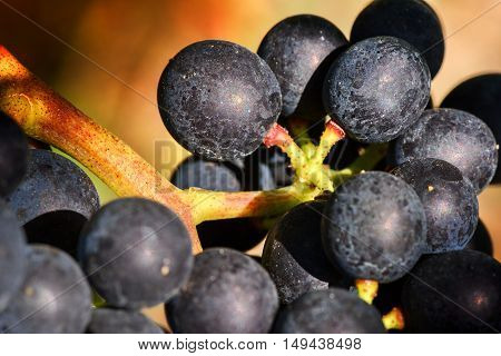 Bunch of black grape on vine branch macro shot. Wine making concept