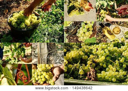 Collage with white grape harvesting and grape closeup. Agricultural background