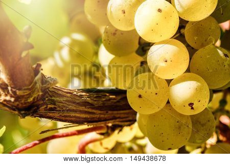 Bunch of fresh organic grape on vine branch. Wine making concept