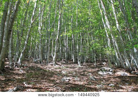 Landscape view of a beech Forest in summertime