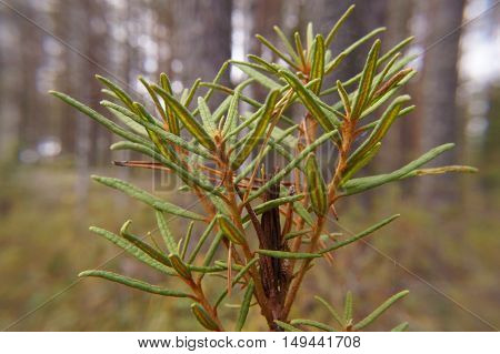 In Rosemary Ledum Pal Stre Growing Swamp,macro Landscape Selective Focus