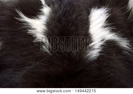 detail of black and white fur of goat as background