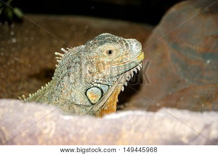 green iguana peeking from behind a rock