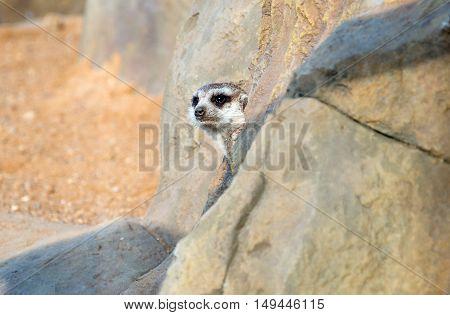little meerkat peeking out of a hole in the rock