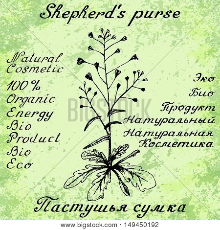 Shepherd's purse hand drawn sketch botanical illustration. Vector illustation. Medical herbs. Lettering in English and Russian languages. Grunge background. Oil drop