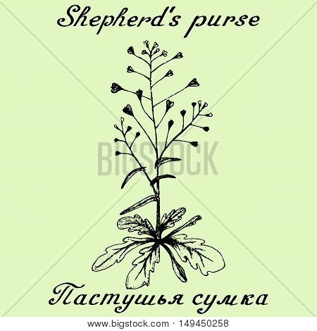 Shepherd's purse hand drawn sketch botanical illustration. Vector illustation. Medical herbs. Lettering in English and Russian languages