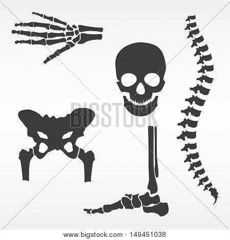 Vector illustration parts of human skeleton. Human joints vector set. Skull hip bone spine hand skeleton and foot bone symbols. Rehabilitation