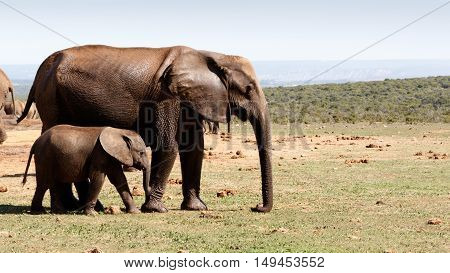 Baby Elephant Walking With His Mother -african Bush Elephant