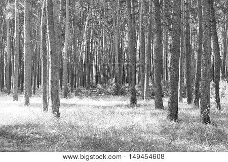 Pine forest, black-white photo, beautiful autumn landscape