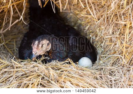 hen laying eggs on her nest in farm