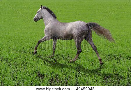 breed horse Orlov trotter runs on grass
