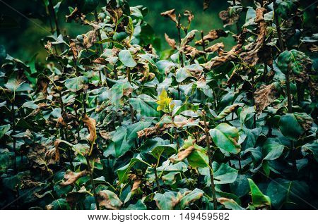 Withered Leaves On The Bush