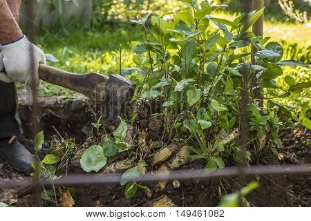 man behind metal mesh cuts down with an ax roots of bushes in a garden in rural areas