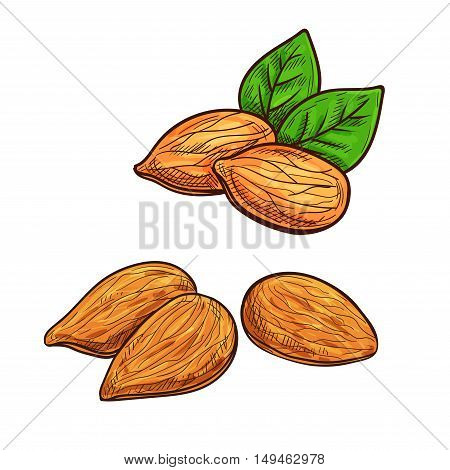 Almonds. Isolated vector sketch almond nut with kernels and leaves for snack product label, packaging sticker, grocery shop tag, farm store