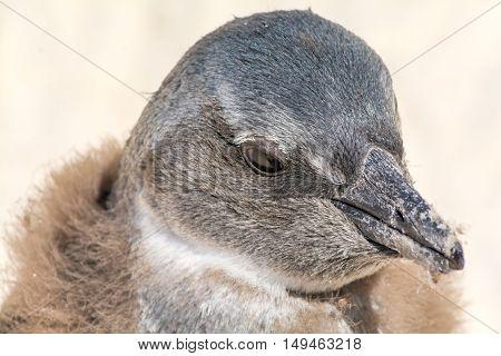Portrait Of A Young Jackass Penguin
