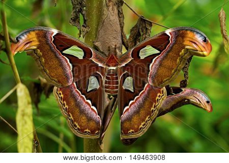 Portrait of tropical butterfly atlas moth attacus.