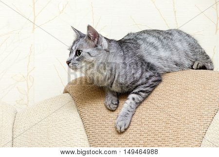 Beautiful portrait of grey cat, Portrait of green-eyed cat isolated on yellow background. Car ready to jump