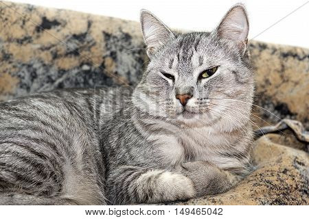 Cat on brown background, Serious cat, cat at home, proud cat, funny cat, grey cat, domestic animal, grey serious cat in blurry background, fat cat, portrait of cat