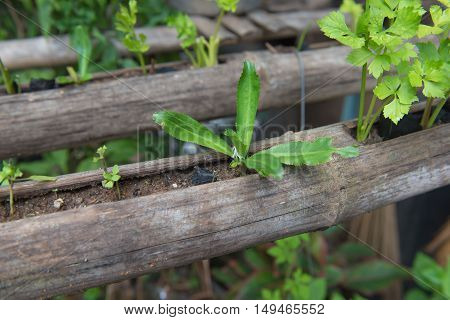fresh Vegetable planting in bamboo , organic food for Health