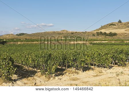 Landscape Of Vineyard