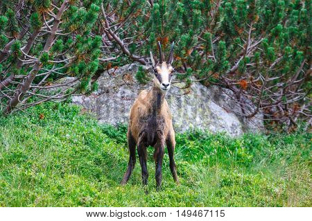 Chamois (Rupicapra Carpatica) in High Tatra Mountains Poland